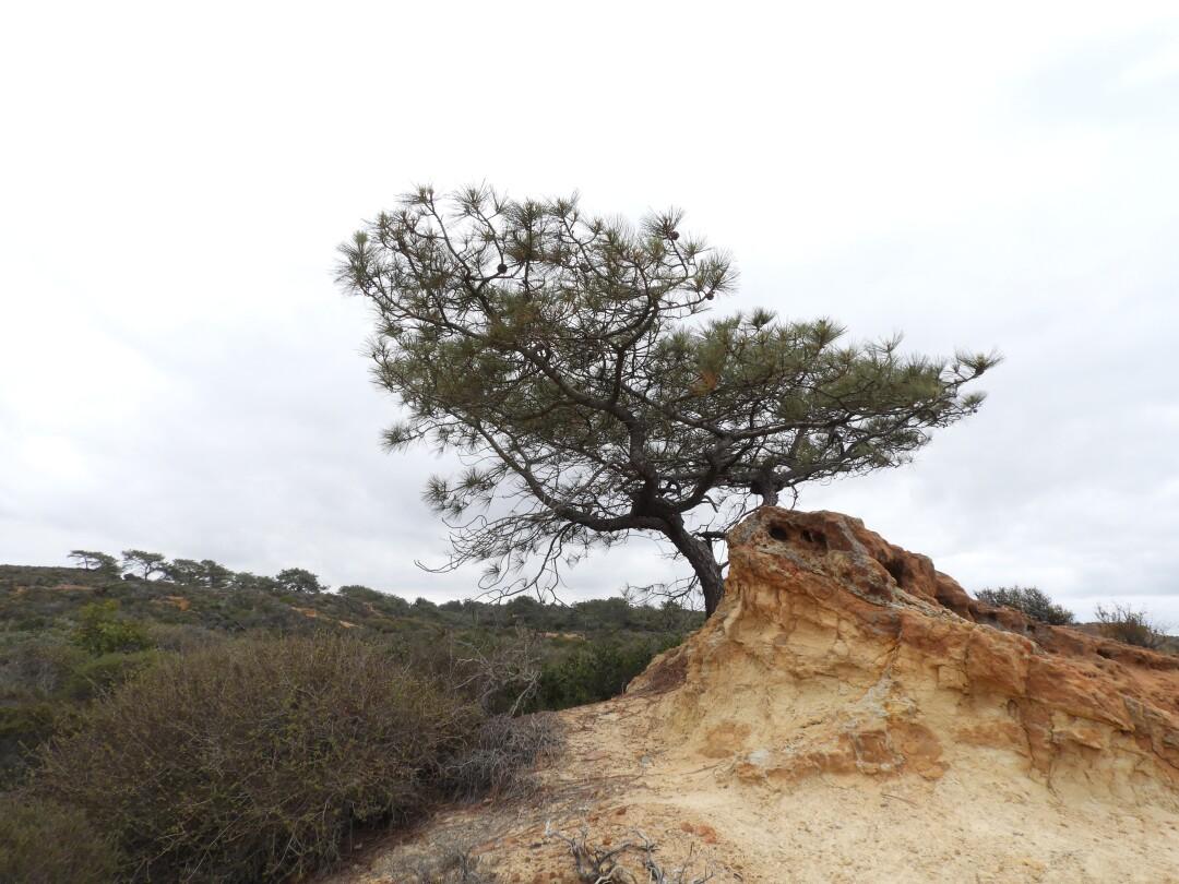 A Torrey pine tree
