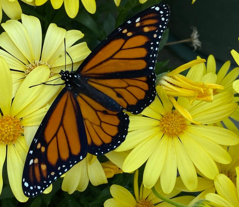 A monarch butterfly in a garden in Santa Cruz.